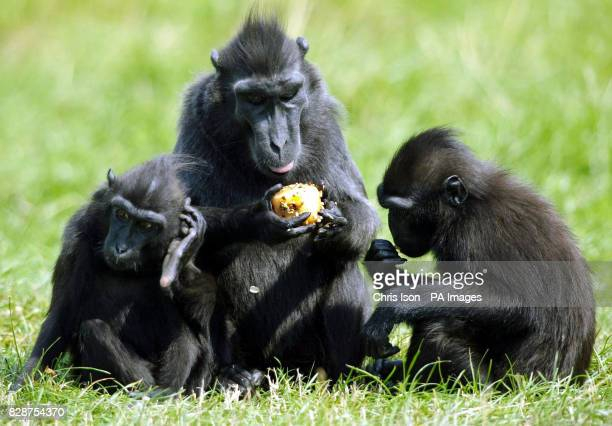 A Sulawesi Crested Macaque and her infants cool off at Marwell Zoo near Winchester in Hampshire with fruit icecubes as temperatures soared into the...
