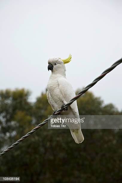 A Sulfur-Crested Cockatoo perching on a wire