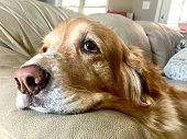 Sullen Golden Retriever Dog resting his head on the leather couch arm rest