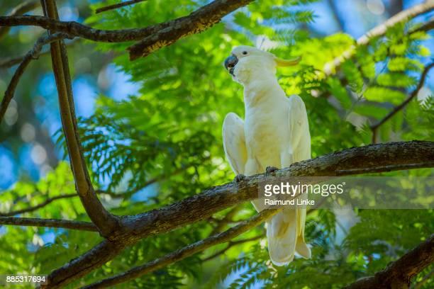 Sulphur Crested Cockatoo, Cacatua galerita, Perching in Tree, Rockhampton, Queensland, Australia