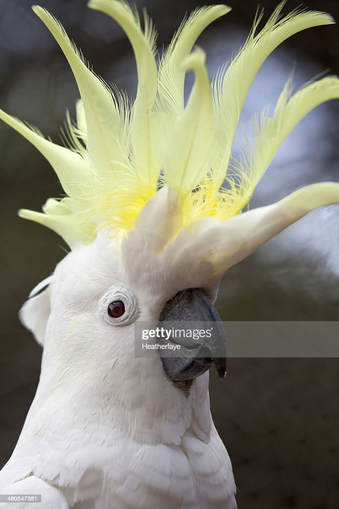 Sulphur crested cockatoo : Stock Photo