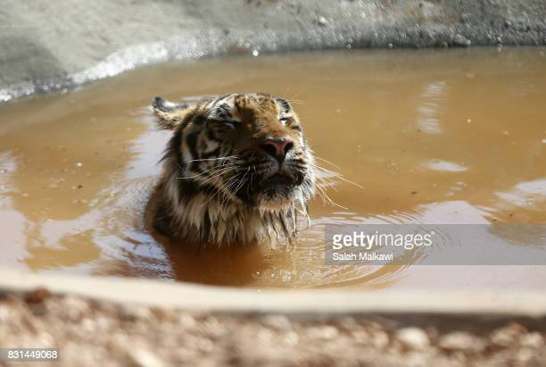 AUGUST 14 Sultan a tiger who arrived from an Aleppo zoo in northern Syria relaxes in the AlMa'wa wildlife reserve near Souf on August 14 2017 in...