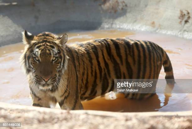 AUGUST 14 Sultan a tiger who arrived from an Aleppo zoo in northern Syria rests in the AlMa'wa wildlife reserve near Souf on August 14 2017 in...