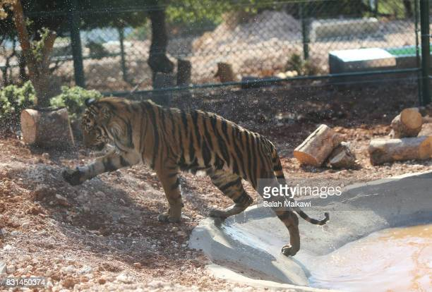 AUGUST 14 Sultan a tiger who arrived from an Aleppo zoo in northern Syria walks in the AlMa'wa wildlife reserve near Souf on August 14 2017 in...