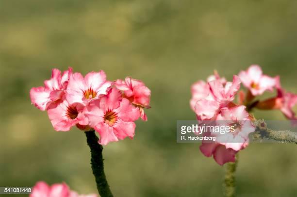 Sultanate Of Oman, Desert-Rose Adenium Obesum