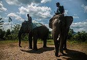Sumatran elephant walk in captivity elephantPeranggai Village Lahat South Sumatran Indonesia on July 11 2016 Based on data WWF sumatran elephant...