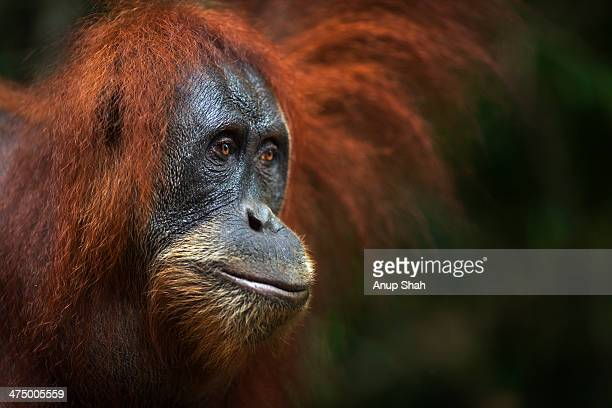 Sumatran Orangutan female 'Pesec'