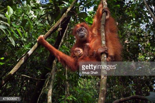 Sumatran Orangutan female 'Sepi'