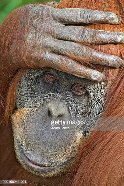 Sumatran orangutan (Pongo pygmaeus abelii), hand on head, close-up