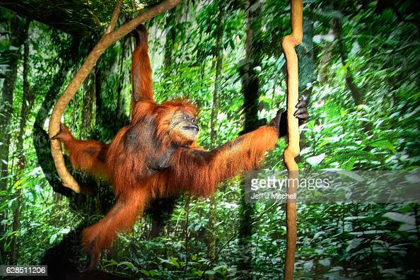 Sumatran orangutan is displayed during a press preview for a new taxidermy exhibition on December 8 2016 in Edinburgh Scotland More than sixty...