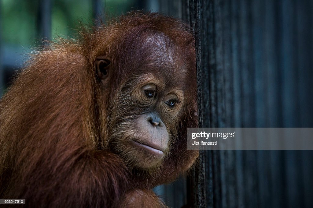 A sumatran orangutan (Pongo abelii) is seen inside a cage at Sumatran Orangutan Conservation Programme's rehabilitation center on November 10, 2016 in Kuta Mbelin, North Sumatra, Indonesia. The Orangutans in Indonesia have been known to be on the verge of extinction as a result of deforestation and poaching. Found mostly in South-East Asia, where they live on the islands of Sumatra and Borneo, the endangered species continue to lose their habitat as a result of corporate expansion in a developing economy. Indonesia approved palm oil concessions on nearly 15 million acres of peatlands over the past years and thousands of square miles have been cleared for plantations, including the lowland areas that are the prime habitat for orangutans.