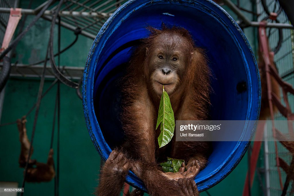 A sumatran orangutan (Pongo abelii) is seen inside a cage at Sumatran Orangutan Conservation Programme's rehabilitation center on November 11, 2016 in Kuta Mbelin, North Sumatra, Indonesia. The Orangutans in Indonesia have been known to be on the verge of extinction as a result of deforestation and poaching. Found mostly in South-East Asia, where they live on the islands of Sumatra and Borneo, the endangered species continue to lose their habitat as a result of corporate expansion in a developing economy. Indonesia approved palm oil concessions on nearly 15 million acres of peatlands over the past years and thousands of square miles have been cleared for plantations, including the lowland areas that are the prime habitat for orangutans.