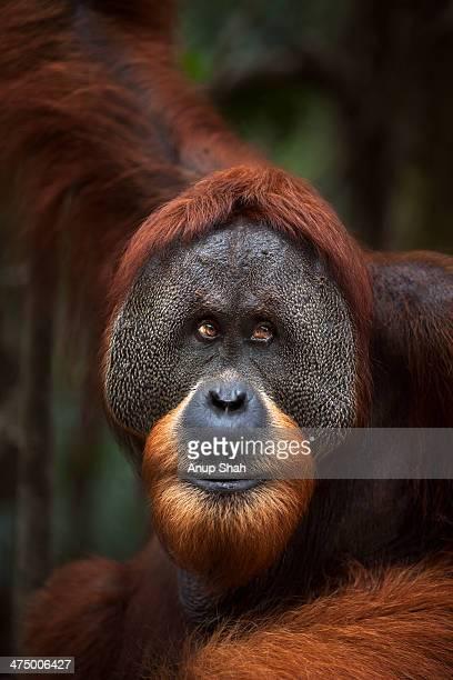 Sumatran Orangutan mature male 'Halik'