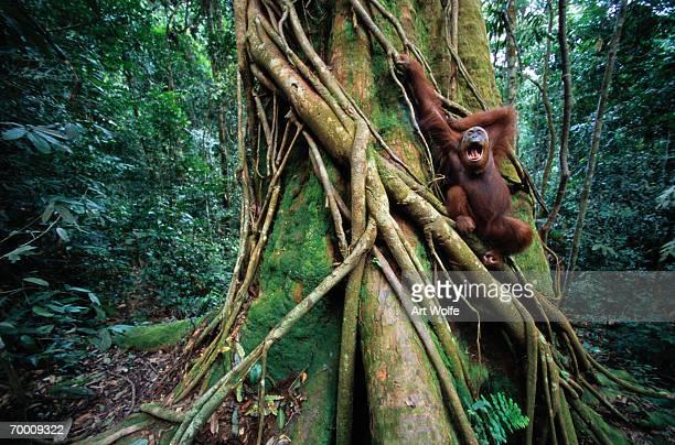 Sumatran orangutan (Pongo pongo abelii) Sumatra, Indonesia