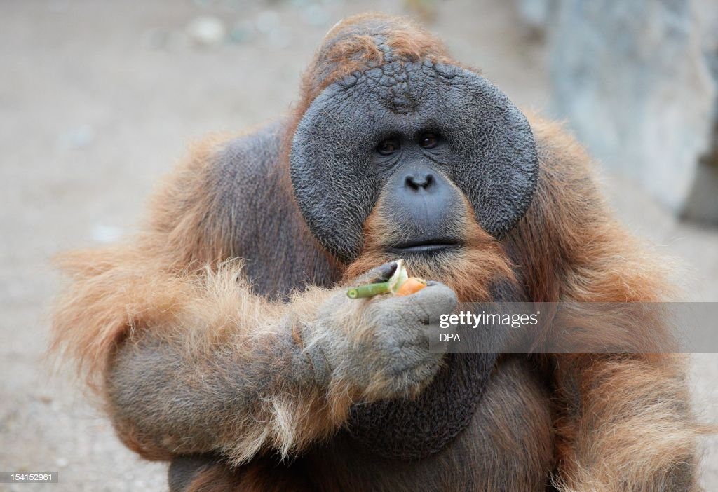 an overview of the lifestyle and habitat of the orangutan Stop palm oil-fueled forest fires that are killing off threatened orangutan environment, habitat on living a healthy and green lifestyle.