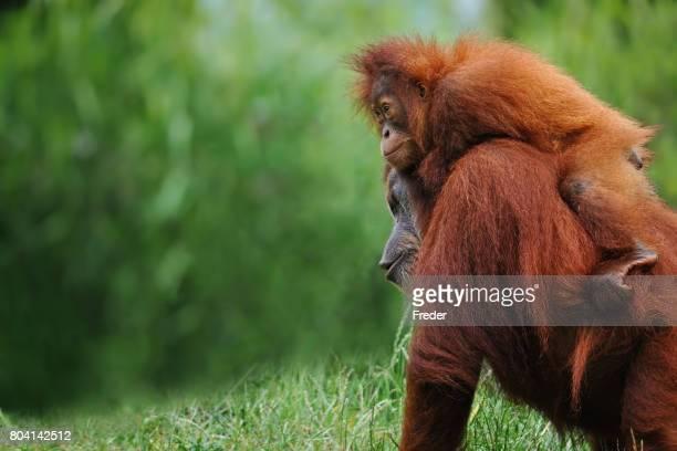 orangs-outans de Sumatra