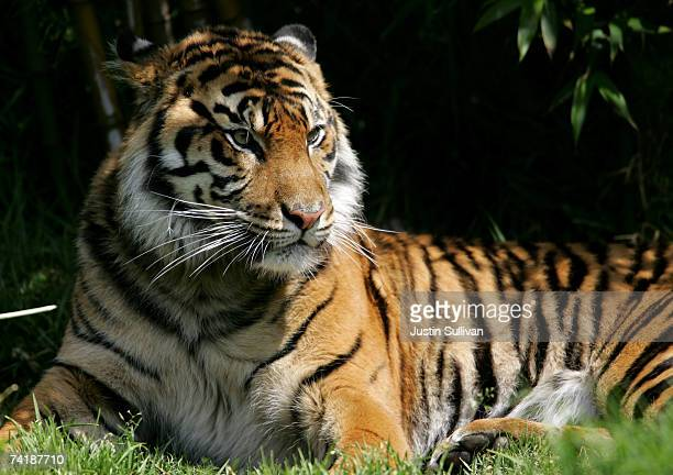 Sumatran tiger an endangered animal species sits in its exhibit at the San Francisco Zoo May 18 2007 in San Francisco California The US celebrates...