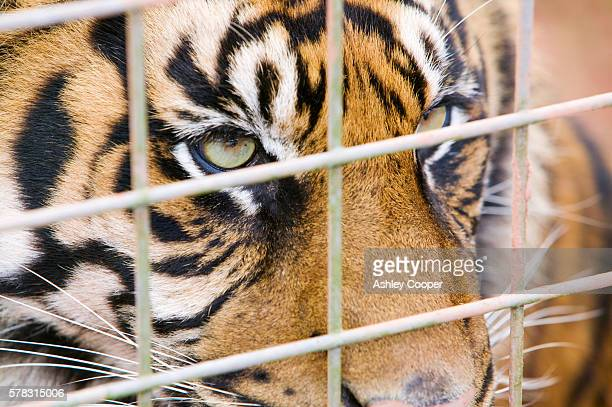 A Sumatran Tiger as part of a breeding program.