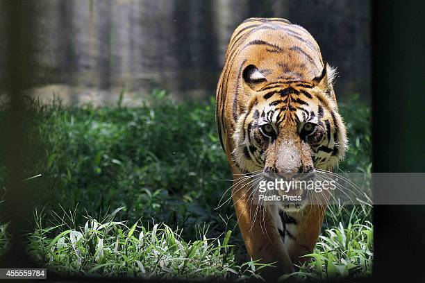 Sumatran tiger in a zoo in Medan North Sumatra The Sumatran tiger has become the last tiger species in Indonesia after the Bali tiger and the Java...