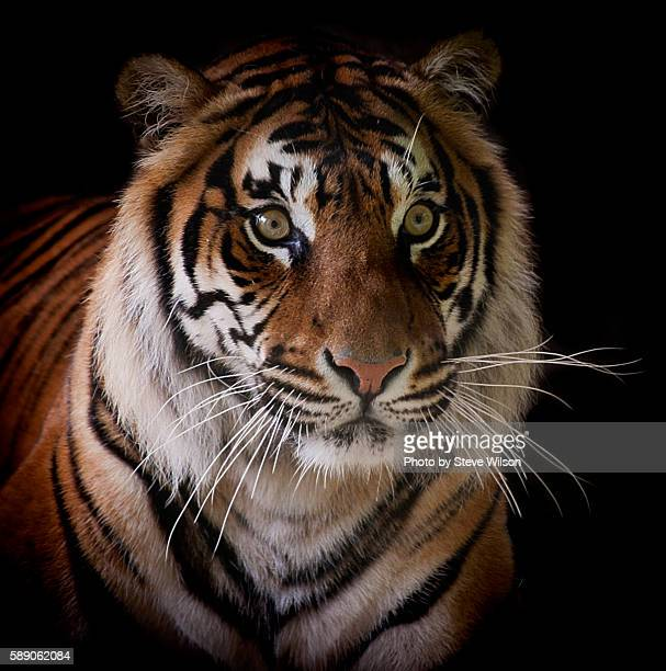Sumatran Tiger Isolated on a Black Background