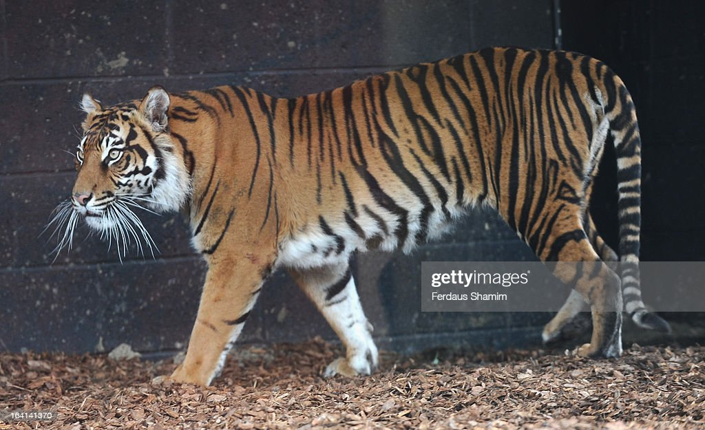 Sumatran tiger Jae Jae during the opening of London Zoo's new Tiger Territory at ZSL London Zoo on March 20, 2013 in London, England.