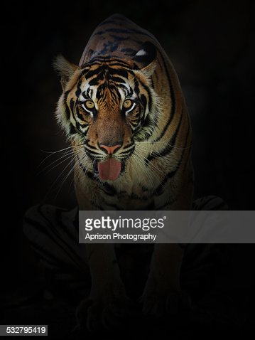 Sumatran Tiger looking at camera with curiosity