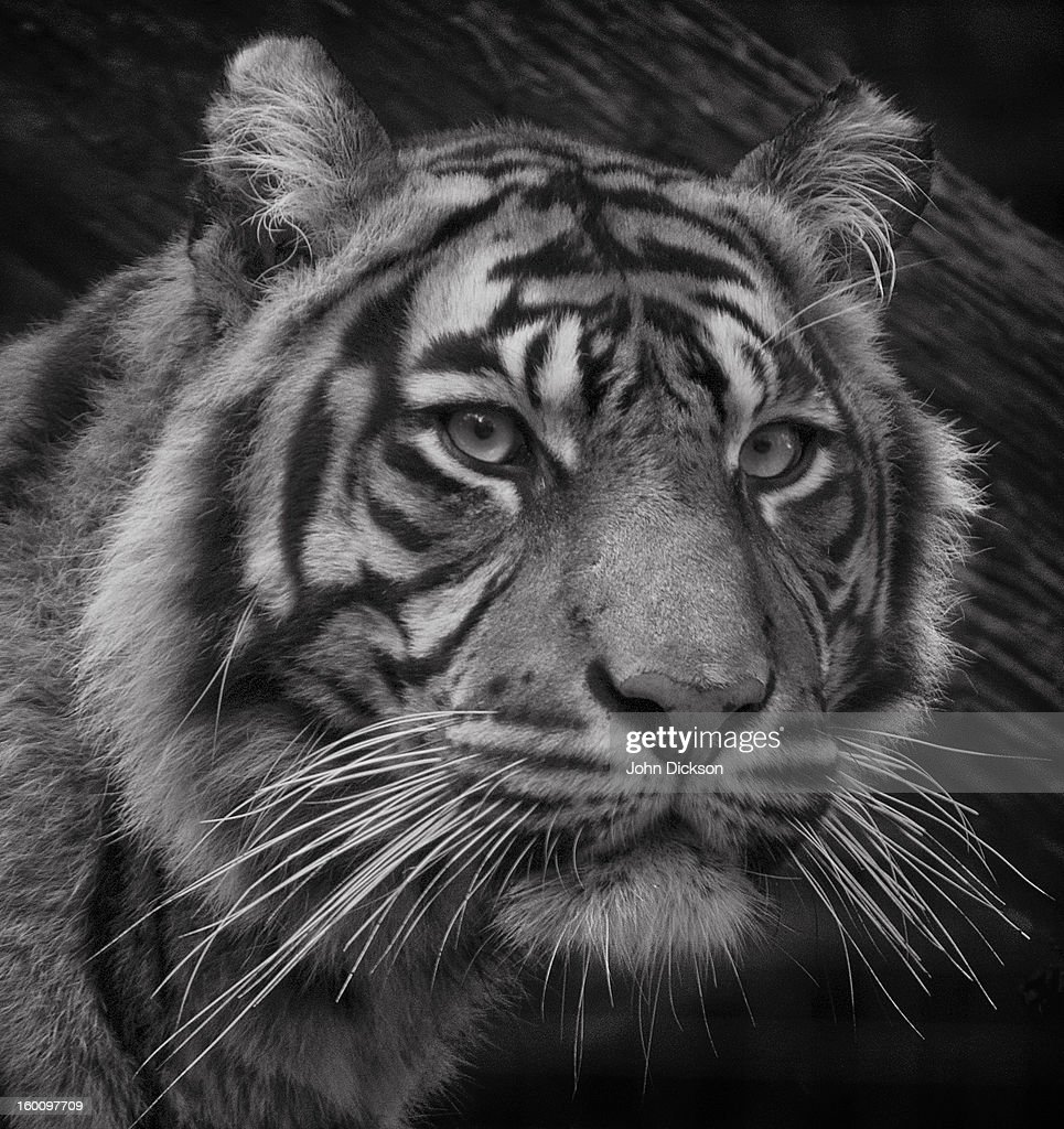 Sumatran Tiger Mono Portrait : Stock Photo