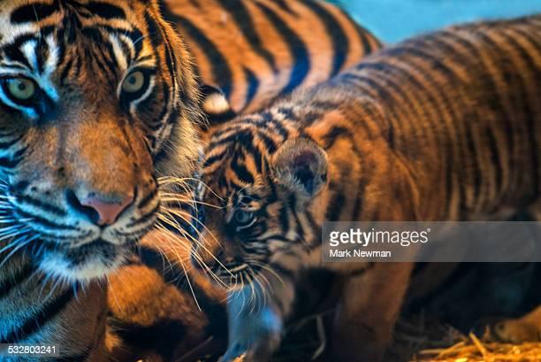 Sumatran tiger, mother and cubs