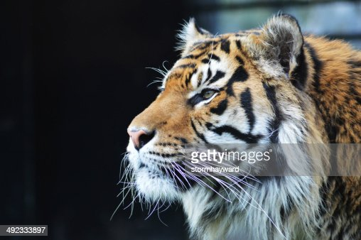 Sumatran Tiger : Stock Photo