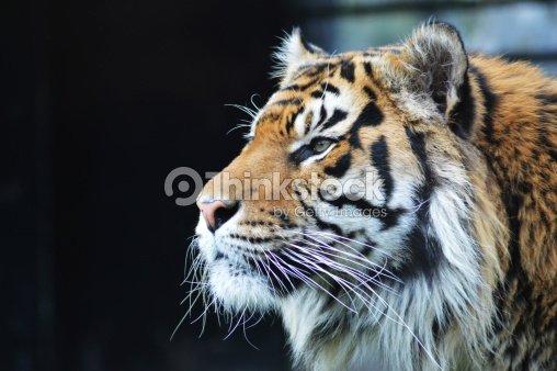 Sumatran Tiger : Stock Photo