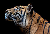 The Sumatran tiger is a rare tiger subspecies that inhabits the Indonesian island of Sumatra. It was classified as critically endangered by IUCN in 2008 as the population is projected to be 441 to 679