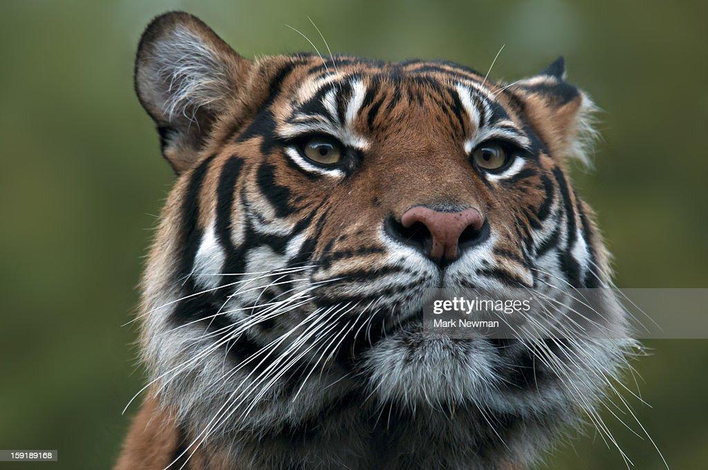Sumatran tiger portrait : Stock Photo