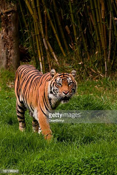 Sumatran tiger roaming the jungle