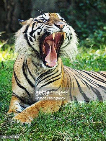 Sumatran Tiger roars while lying down