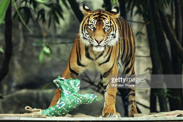 Sumatran Tiger tears apart a wrapped Christmas present at Taronga Zoo on December 21 2011 in Sydney Australia Animals received Christmas themed...