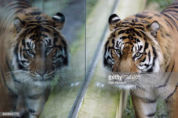 Sumatran Tiger walks around his enclosure during a photocall at ZSL London Zoo's annual 'Stocktake' on January 3 2017 in London England Zoological...