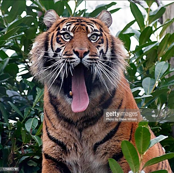 Sumatran tiger with mouth wide open