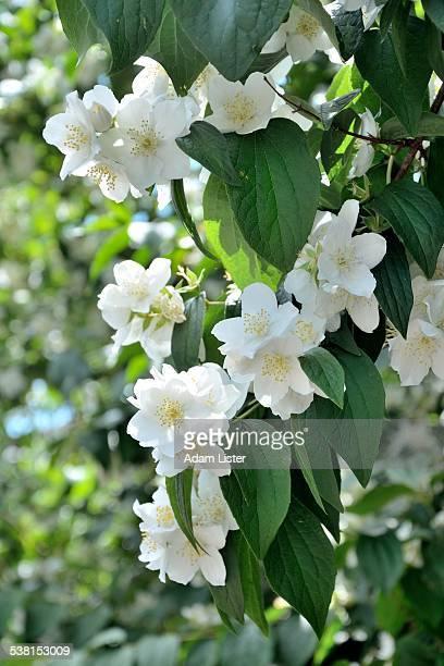 Summer apple blossom