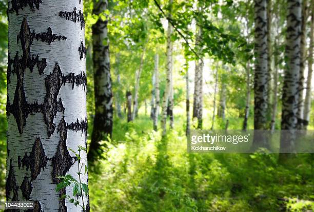 Summer birch woods