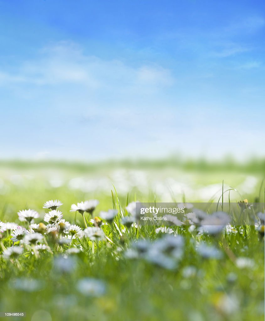 Summer daisies against a fresh blue sky : Stock Photo