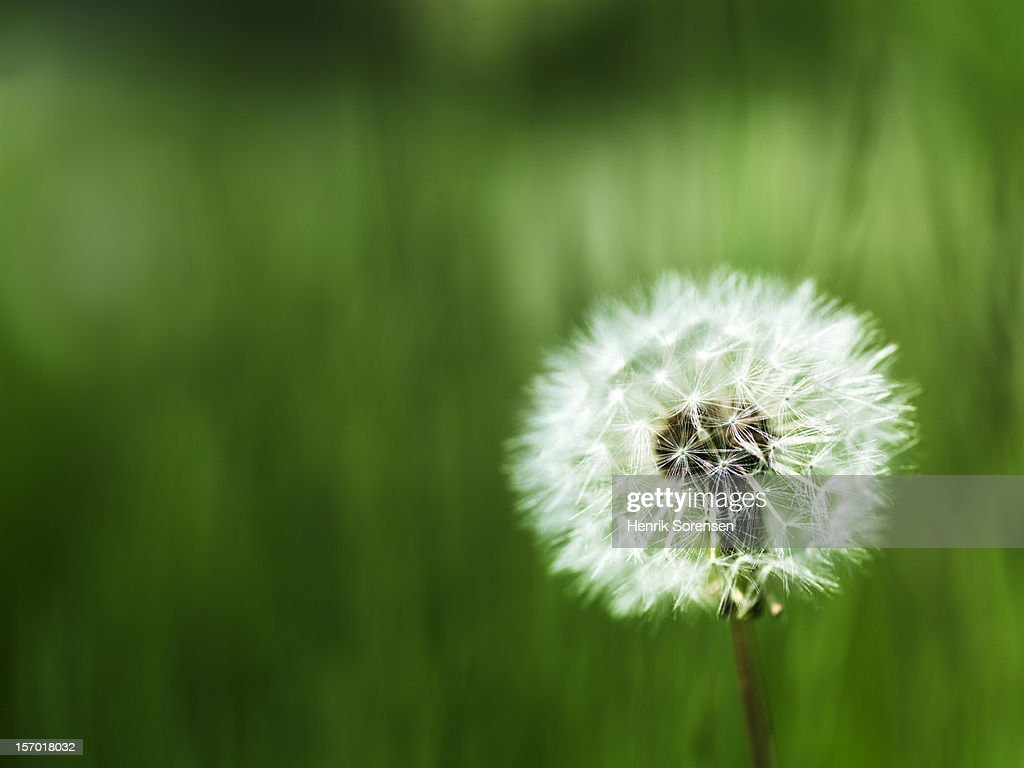 Summer ?????????Dandelion : Stock Photo