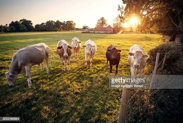 Summer evening dairy herd