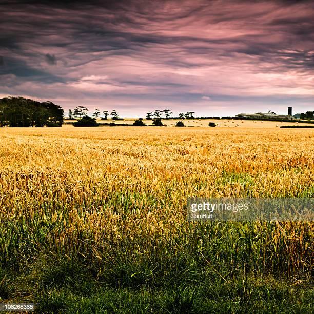 Summer Evening Wheatfield