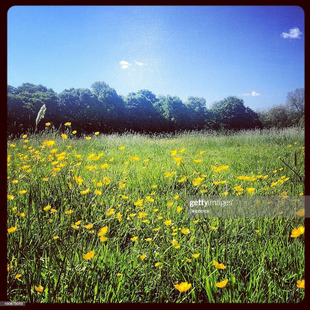 Summer field : Stock Photo