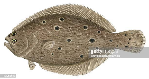 Flounder Stock Photos and Pictures | Getty Images
