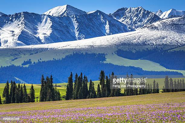 Summer Flowers Blooming, Kalajun Grassland, Xinjiang China