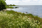 Summer flowers by a coastline at the swedish island Oland in the Baltic Sea