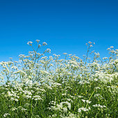 Cow parsley (Anthriscus sylvestris) blooming in a meadow in summer.