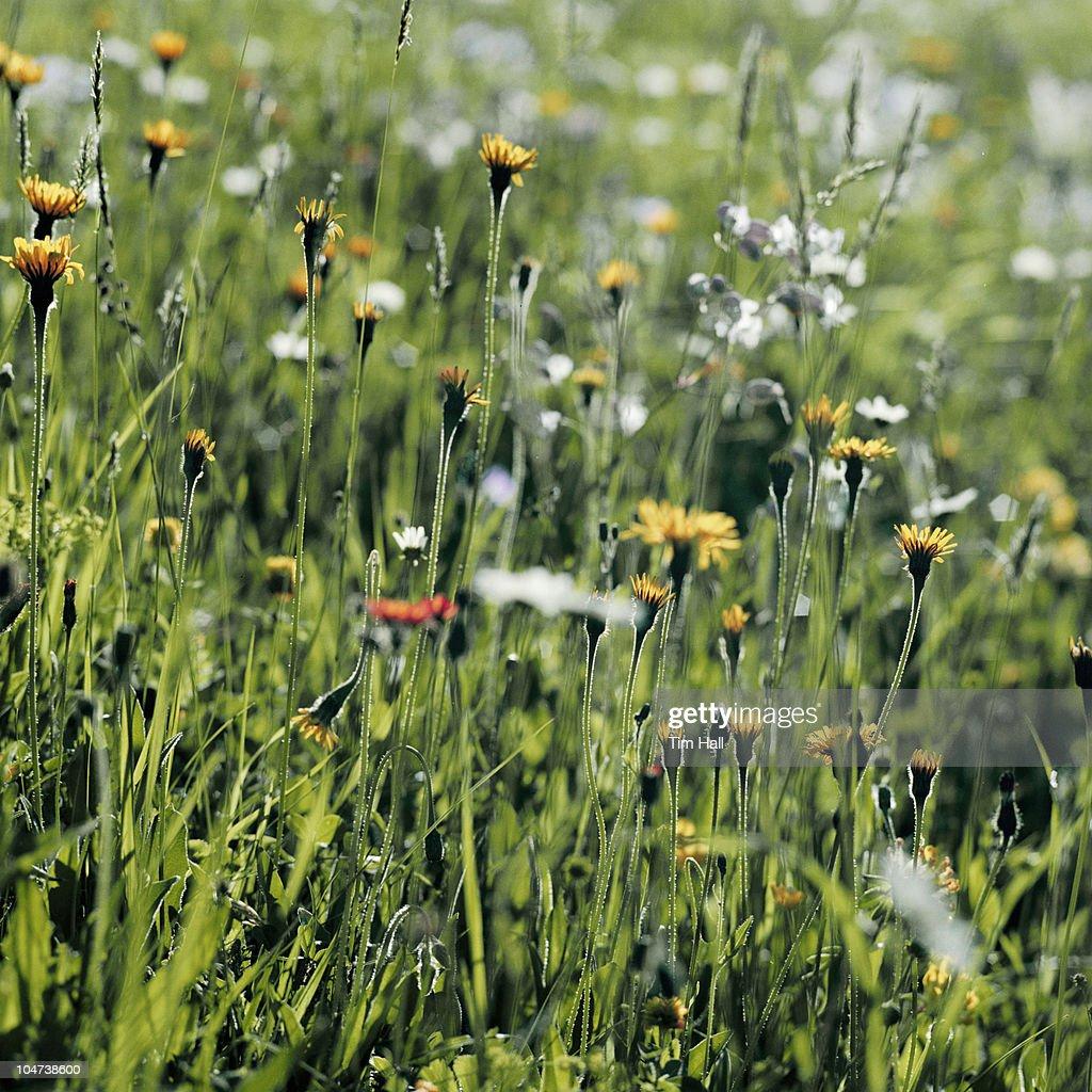 Summer flowers in meadow : Stock Photo