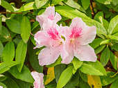 Summer flowers series, Pink rhododendron blossom close-up in garden.
